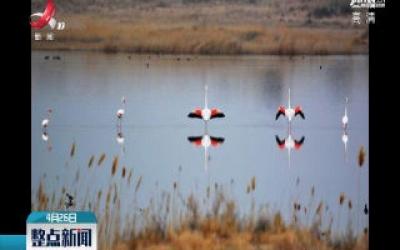 内蒙古境内发现世界濒危物种火烈鸟