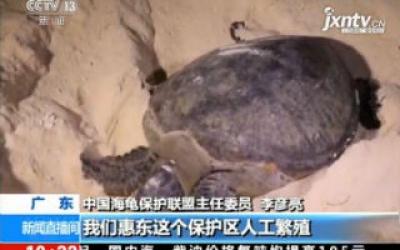 农业农村部:今年我国首次大规模增殖放流海龟