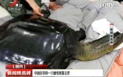 中国仅存的一只雌性斑鳖去世
