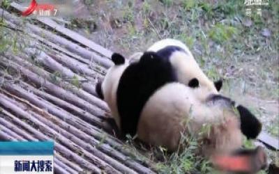 """云南:大熊猫冬季撒欢打闹 输了要""""加餐"""""""