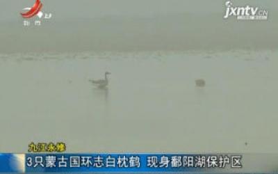 九江永修:3只蒙古国环志白枕鹤 现身鄱阳湖保护区