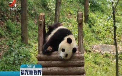 """大熊猫""""如意"""" """"丁丁""""启程前往俄罗斯"""
