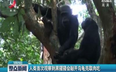 德国:人类首次观察到黑猩猩会敲开乌龟壳取肉吃
