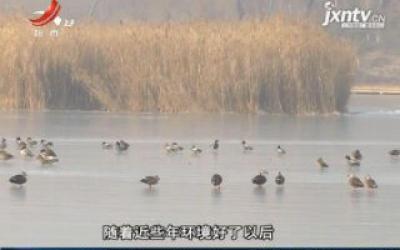 山东桓台:航拍冬日奇景 数百只野鸭冰面嬉戏