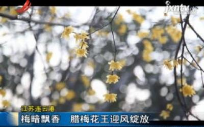 江苏连云港:梅暗飘香 腊梅花王迎风绽放
