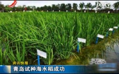 青岛试种海水稻成功