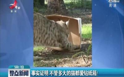 事实证明 不管多大的猫都爱钻纸箱!