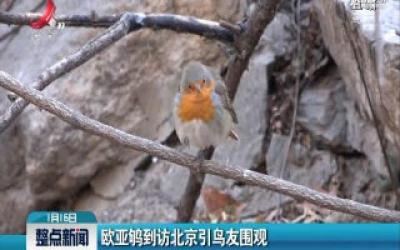 欧亚鸲到访北京引鸟友围观