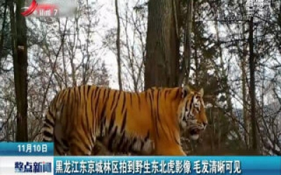 黑龙江东京城林区拍到野生东北虎影像 毛发清晰可见