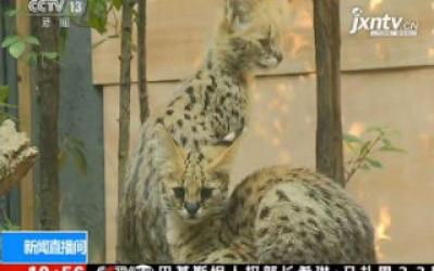 上海:非洲薮猫三胞胎宝宝与游客见面