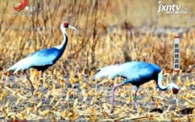 鄱阳湖保护区发现3只蒙古国环志白枕鹤