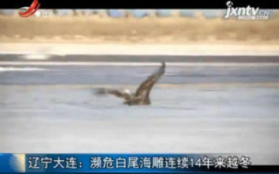 辽宁大连:濒危白尾海雕连续14年来越冬