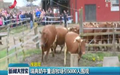 瑞典奶牛重返牧场引5000人围观