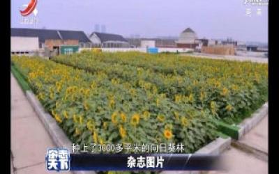 郑州一商场顶楼种3000多平向日葵