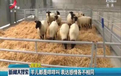 羊儿都是咩咩叫 表达感情各不同