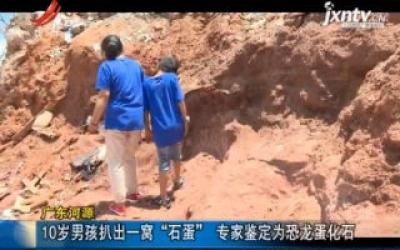 """广东河源:10岁男孩扒出一窝""""石蛋"""" 专家鉴定为恐龙蛋化石"""