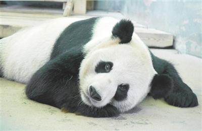 南昌动物园里避暑花样多:老虎享冰块 熊猫企鹅吹空调