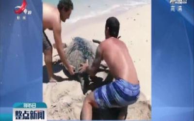 带娃海边游玩 幸运救下被困海龟