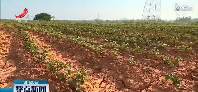 高安千亩红薯遭遇干旱 干群联手降低损失