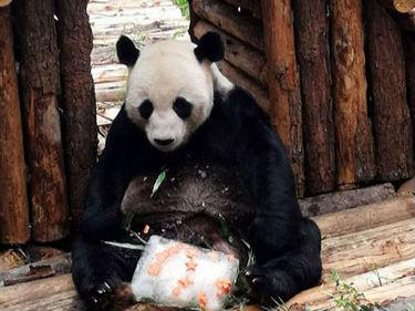 """南昌动物园大熊猫美灵15岁生日 获赠""""豪宅""""和蛋糕"""