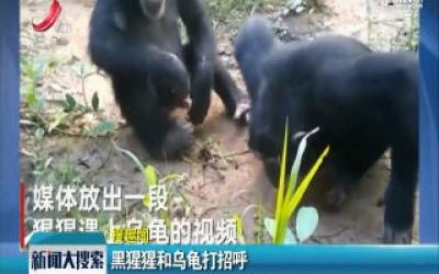 黑猩猩和乌龟打招呼