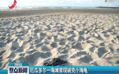 厄瓜多尔一海滩首现破壳小海龟