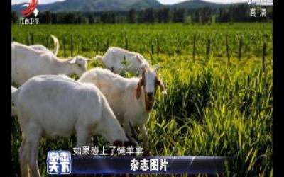 牧民给羊安上计步器 让它每天走4万步