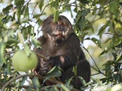 莲花县惊现国家二级保护动物野生藏酋猴