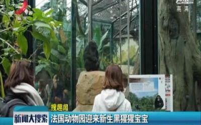 法国动物园迎来新生黑猩猩宝宝