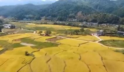 江西会昌:小山村1400亩晚稻成熟 金秋美景醉游人
