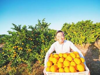 金黄的脐橙开启脱贫致富路