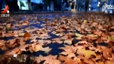 冬雨过后江苏一校园落满梧桐叶 美不胜收