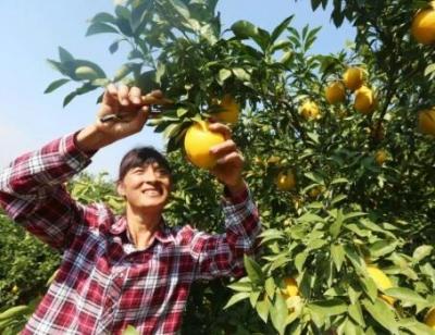 赣南脐橙11月6日开摘!于都产量预计8万吨