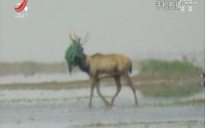 鄱阳湖保护区解救受困麋鹿