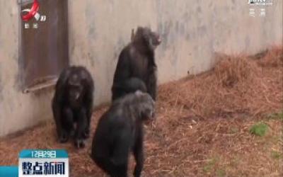 日本科学家发现黑猩猩也能随音乐起舞