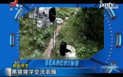 【趣闻搜罗】黑猩猩学会洗衣服