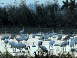 湿地滋润赣鄱 候鸟连通世界