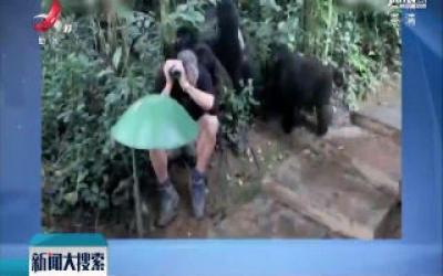 男子被黑猩猩一家围住 灵魂审视有惊无险