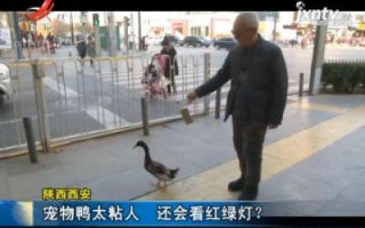 陕西西安:宠物鸭太粘人 还会看红绿灯?