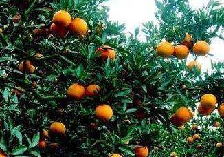 南昌三千多名大学生组队卖脐橙 半个月帮果农卖出4万公斤