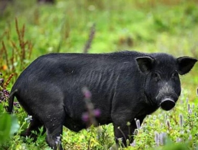 鹰潭年产30万头山黑猪项目开工 可实现年收入31亿元