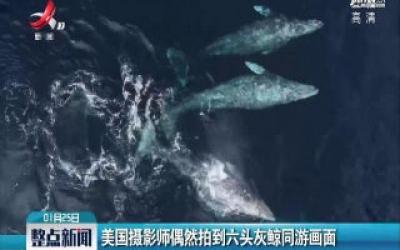 美国摄影师偶然拍到六头灰鲸同游画面