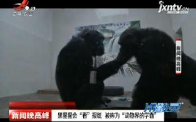 """西安:黑猩猩会""""看""""报纸 被称为""""动物界的学霸"""""""