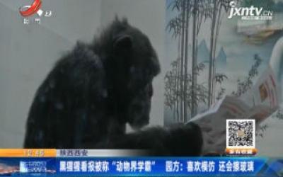 """陕西西安:黑猩猩看报被称""""动物界学霸"""" 园方称喜欢模仿 还会擦玻璃"""