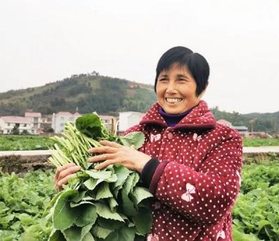 【新春走基层】江西莲花:菜薹喜丰收 村民采摘忙