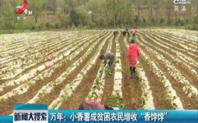 """万年:小香薯成贫困农民增收 """"香饽饽"""""""