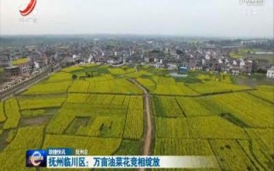 抚州临川区:万亩油菜花竞相绽放