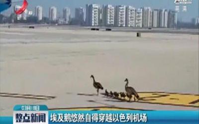 埃及鹅悠然自得穿越以色列机场