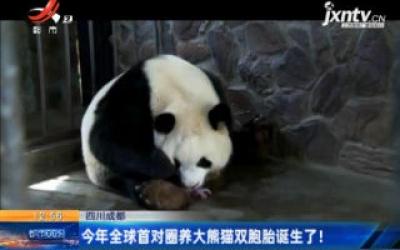 四川成都:2020年全球首对圈养大熊猫双胞胎诞生了!