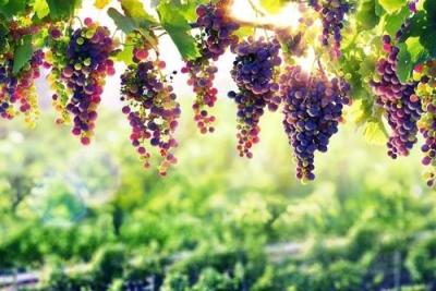 陈群:葡萄园里话梦想